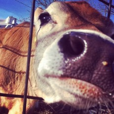 The cows and I will see you at Flayvors soon! :)